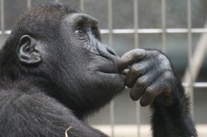 pensive looking gorilla