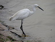 picture of a small white heron