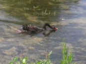 A free black swan in Bibury